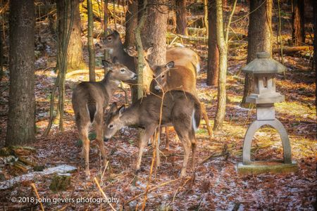 White-tail deer 8 • Steuben County, Indiana