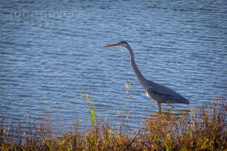Blue Heron • Eagle Marsh • Fort Wayne, Indiana