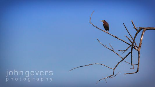Green Heron • Pinckney Island 437 • South Carolina