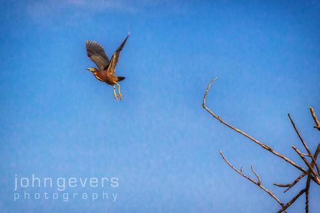 Green Heron • Pinckney Island 441 • South Carolina