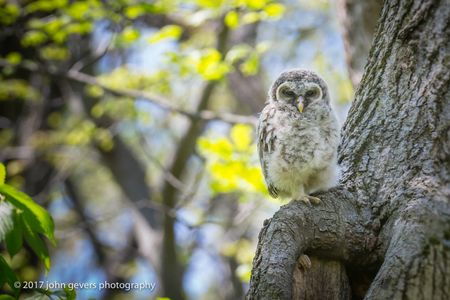 Barred Owlet • Fox Island Nature Preserve • Fort Wayne, Indiana