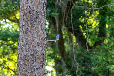 Eastern Bluebird • Pinckney Island 74 • South Carolina