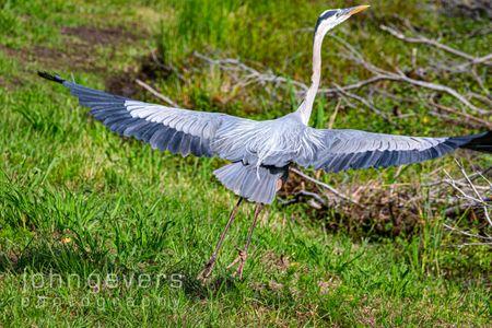 Great Blue Heron • Pinckney Nature Refuge 309 • South Carolina