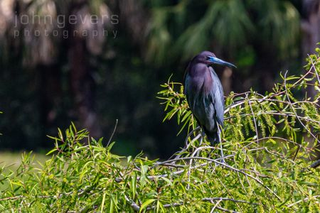 Little Blue Heron • Pinckney Island 267 • South Carolina