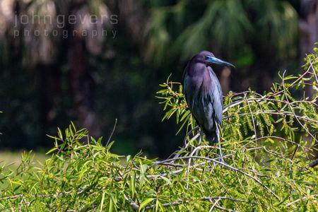 Little Blue Heron • Pinckney Island 267 • South Carolina
