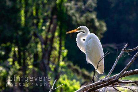 Great Egret • Pinckney Island 185 • South Carolina