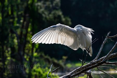 Great Egret • Pinckney Island 195a • South Carolina