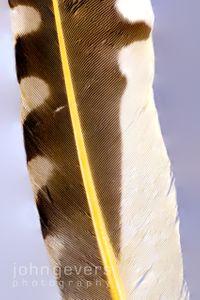 Northern Flicker Feather 1