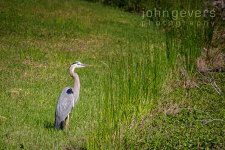 Great Blue Heron • Pinckney Island 224 • South Carolina