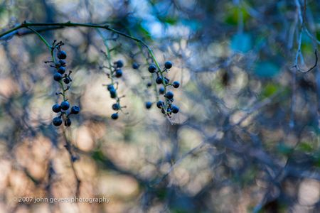 Berries 2 • Vandolah Acres Preserve • Fort Wayne, Indiana