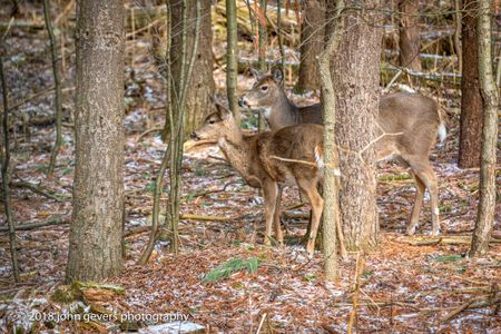 White-tail deer 7 • Steuben County, Indiana