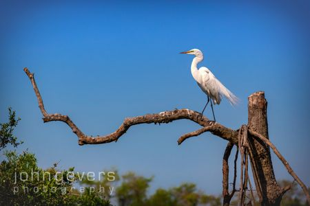 Great Egret • Pinckney Island 488 • South Carolina