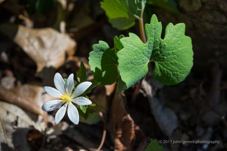 Bloodroot Wildflower • Fox Island • Fort Wayne, Indiana