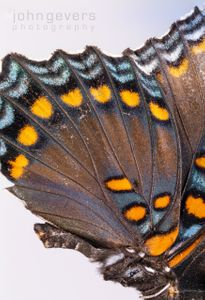 Red Spotted Purple butterfly 1