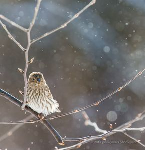 Purple Finch in Snow, Square • Fort Wayne, Indiana.jpg