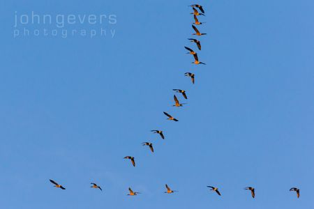 Geese wedge over Eagle Marsh • Fort Wayne, Indiana