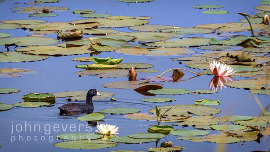 American Coot • Savannah Nature Refuge 553 • Georgia