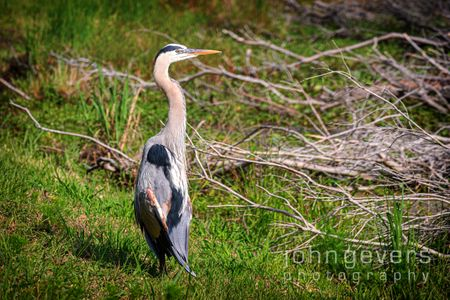 Great Blue Heron • Pinckney Nature Refuge 290 • South Carolina