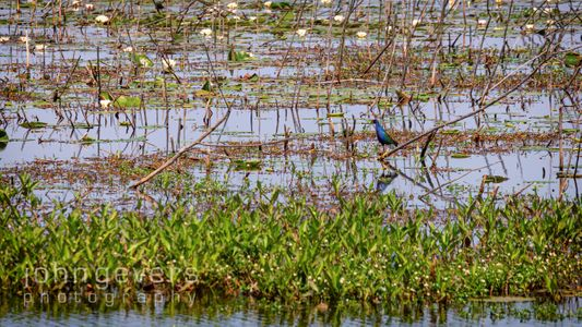 Purple Gallinule • Savannah Nature Refuge 532 • Georgia