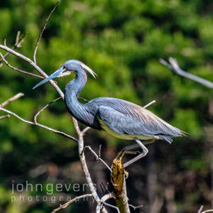 Tricolored Heron • Pinckney Island 246 • South Carolina