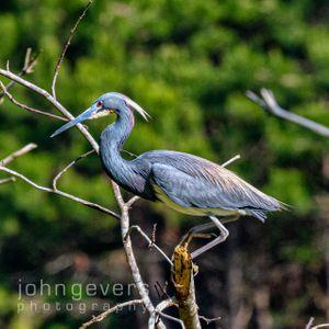 Tricolored Heron • Pinckney Island 246 • South Carolina