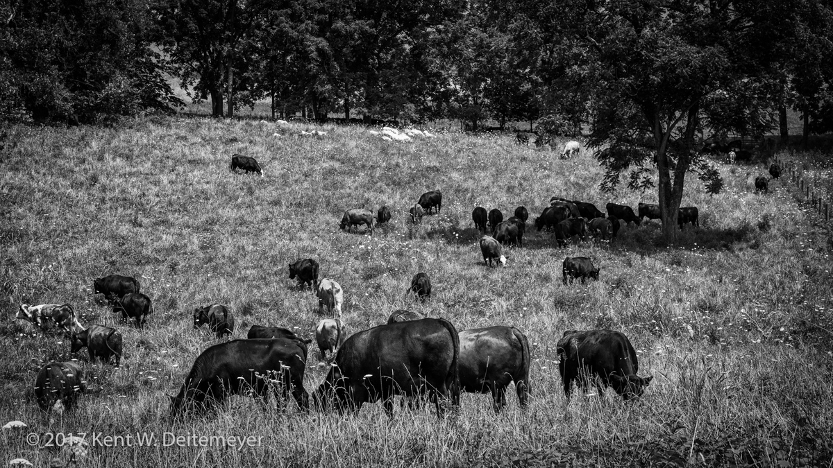 Smith_Meadows_Beef_July_2017-5.jpg