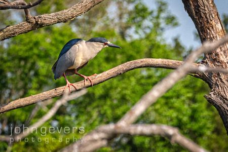 Black-Crowned Night Heron • Pinckney Island 427 • South Carolina