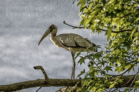 Wood Stork • Pinckney Island 114 • South Carolina