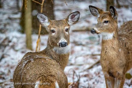 White-tail deer 3 • Steuben County, Indiana