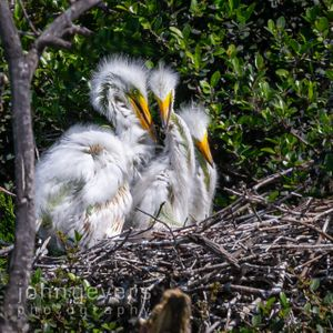 Great Egret chicks • Pinckney Island 527 • South Carolina
