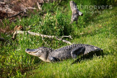 Alligator • Pinckney Island 131 • South Carolina
