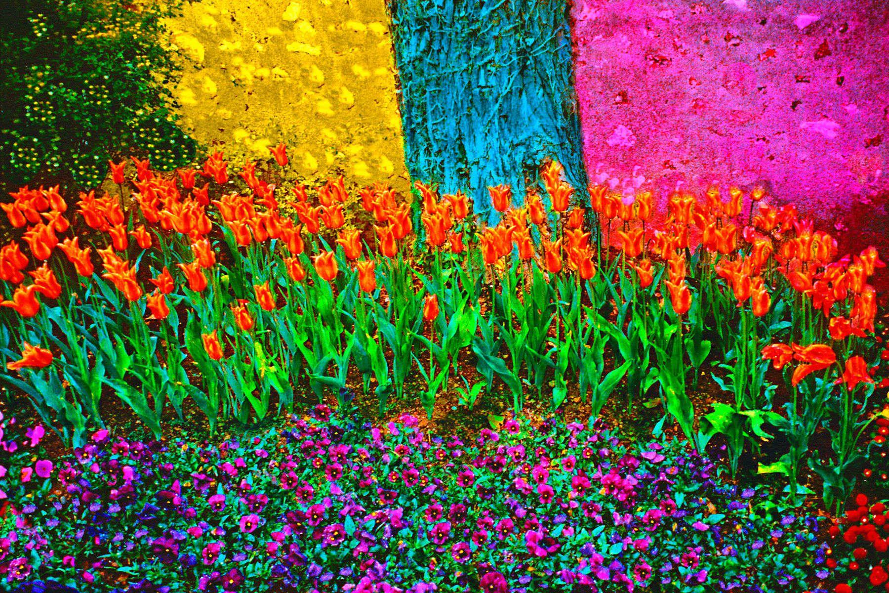13_0_185_1m_gottlieb_monets_orange_tulips.jpg