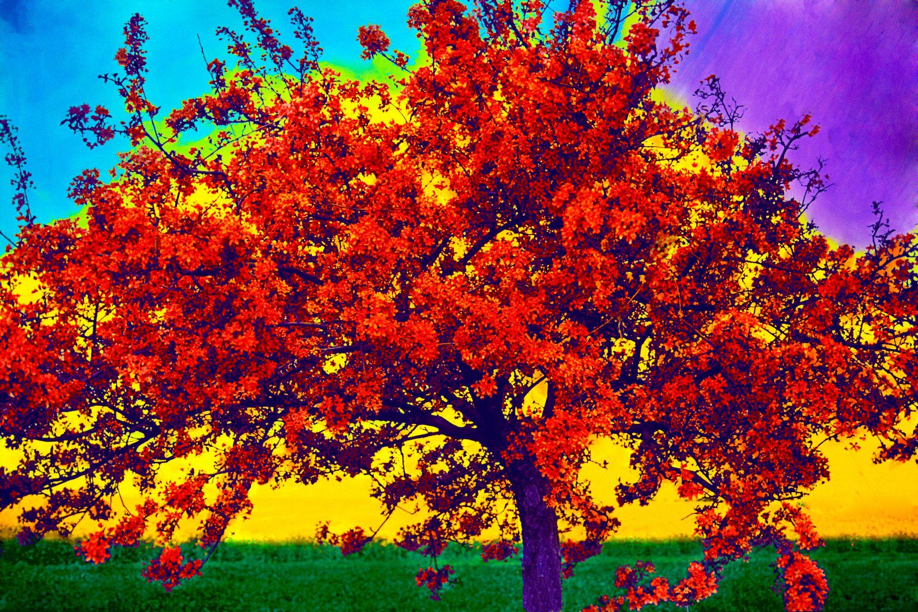 2_0_156_1l_gottlieb_bloomingfrench_tree.jpg