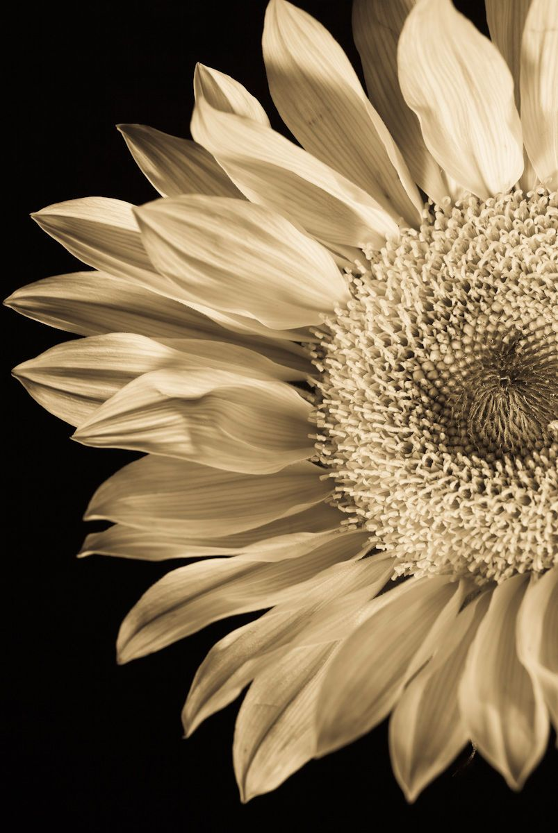 1sunflower_stilllife.jpg