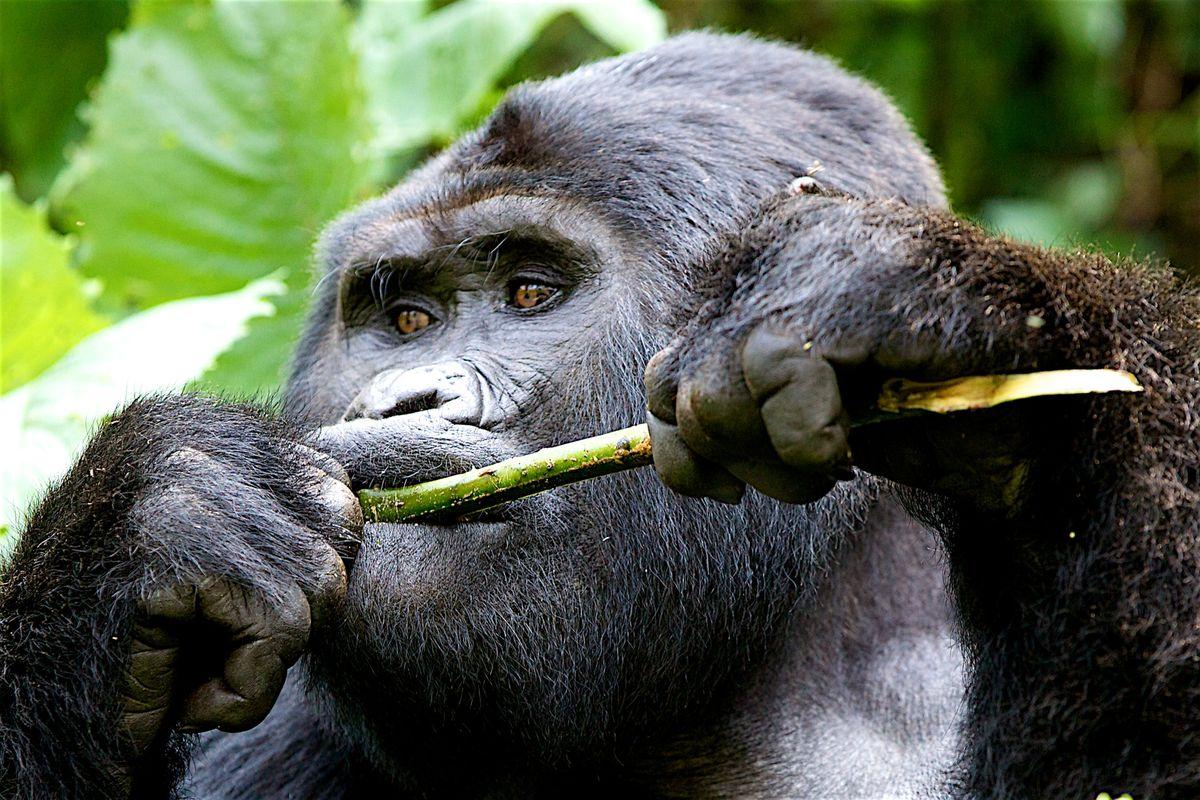 aug 7 gorillas! 2491.jpg