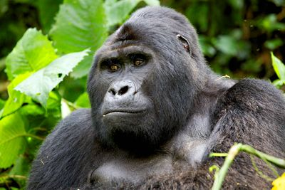 aug-7-gorillas-blog.jpg