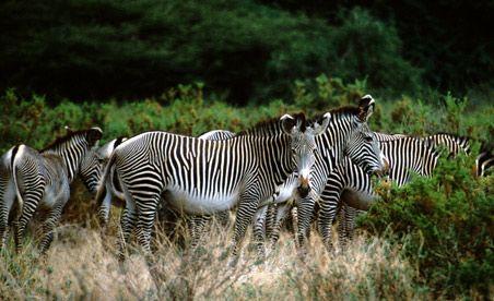017-zebra-herd-90.jpg