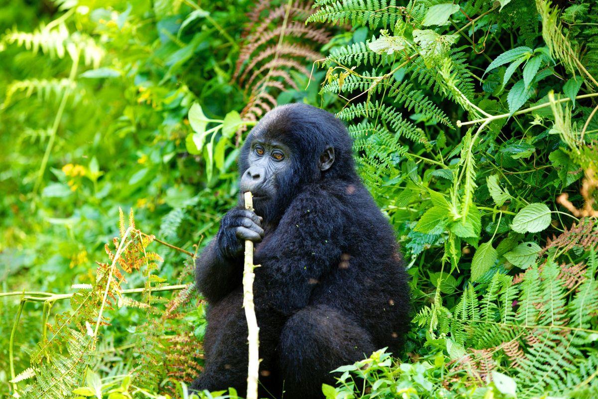 aug 7 gorillas! 2535.jpg