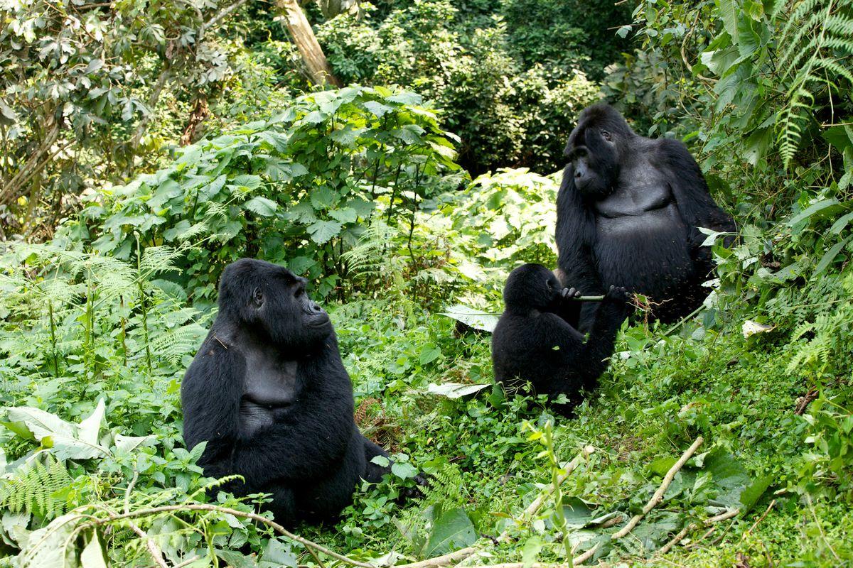 aug 7 gorillas! 2557.jpg