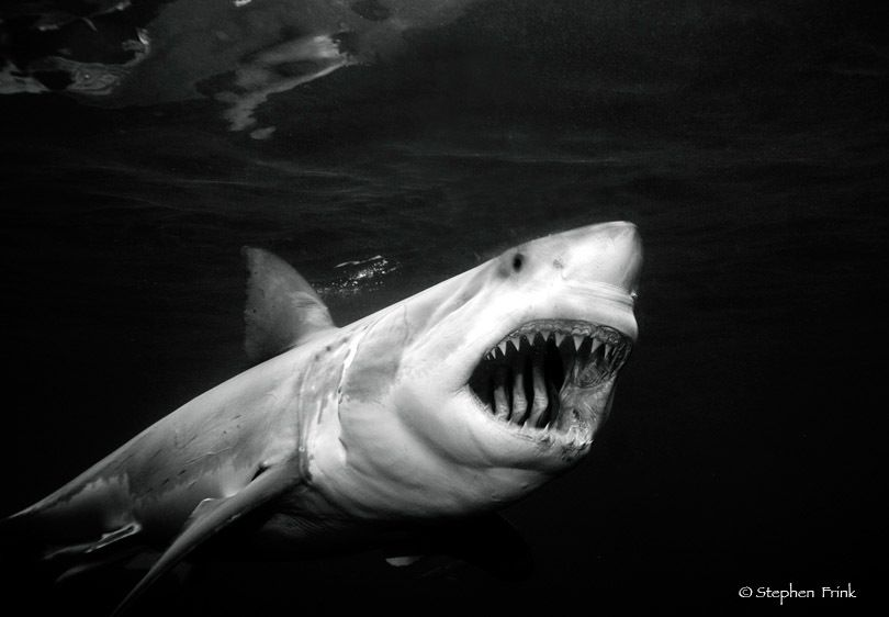 Great white shark (Carcharodon carcharias) ready to feed, South Australia
