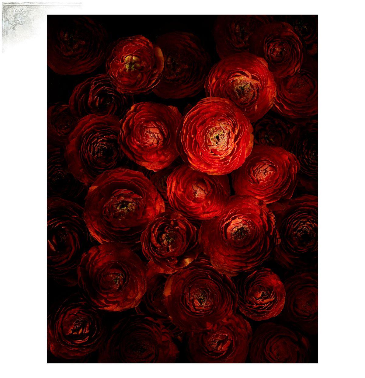 RanunculusPortfPage.jpg