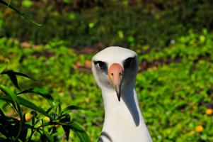 Midway Island, NWHI