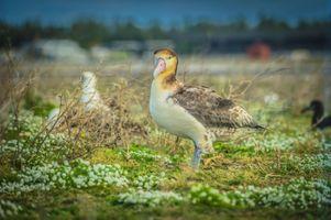 A Rare Short Tailed Albatross