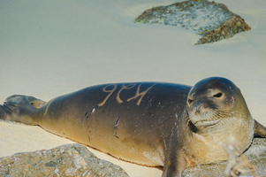 Midway Island Monk Seal