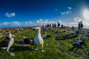 Laysan Albatross nesting site