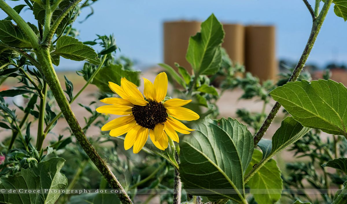 Midstream Sunflower & Tanks.jpg