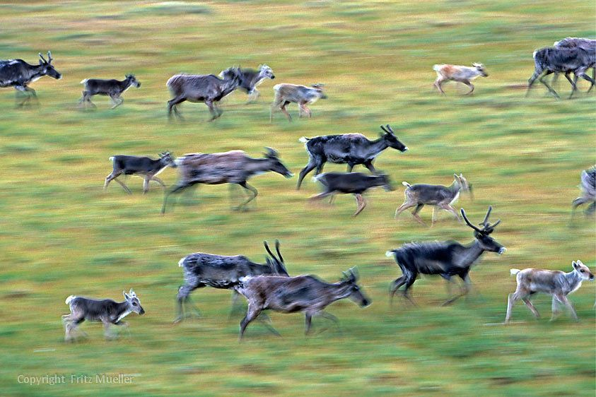 Migrating caribou from the Porcupine herd in the Richardson Mountains, Yukon
