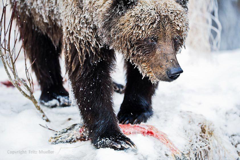Grizzly bear feasts on chum salmon, Fishing Branch Ni'iinlii Njik Territorial Park, Yukon