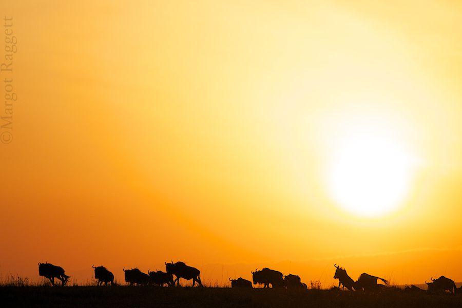 wildebeest-sunrise.jpg