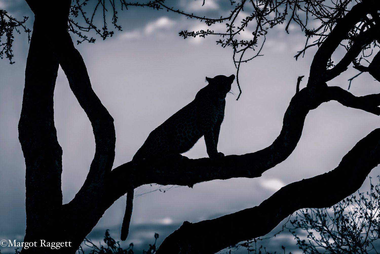 Leopard silhouette - Bahati